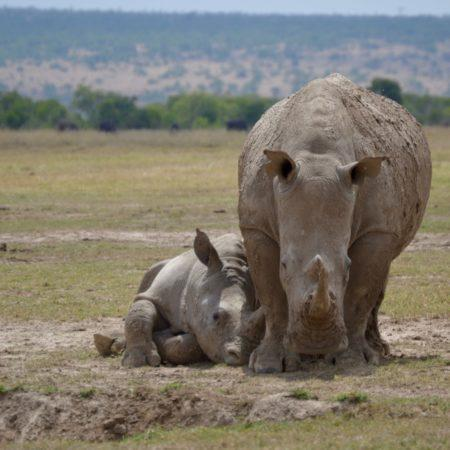 A baby rhino lying down and leaning against its mother.