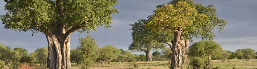 Green Baobab trees and a dark cloudy sky in Tarangire National Parj