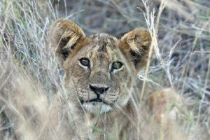 A lion cub in the tall grass seen on a game drive