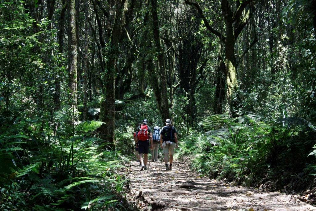 A group of three hikers with backpacks walking through a lush green indigenous forest.