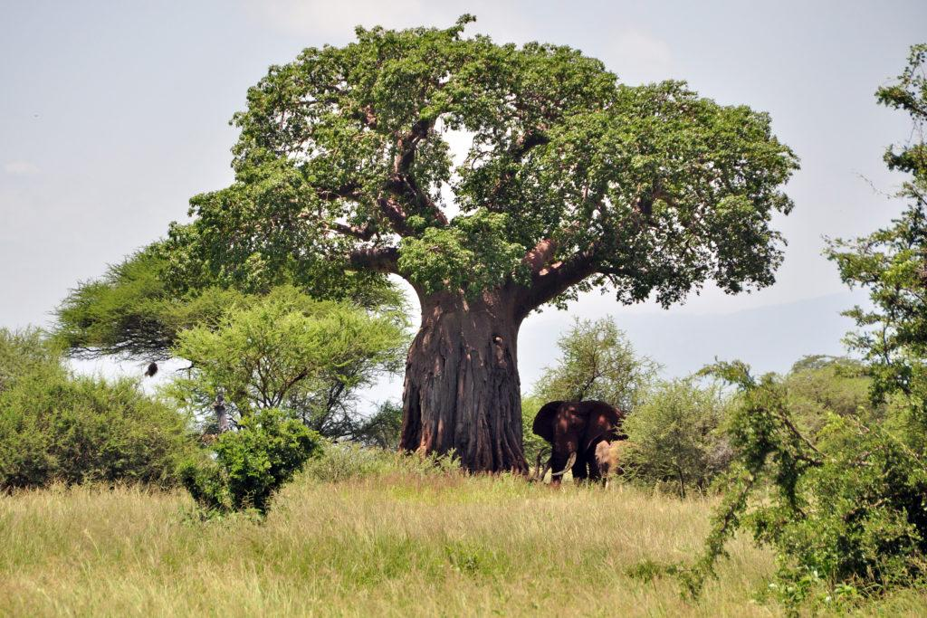 A large green Baobab tree giving shade to two elephants in Tarangire National Park
