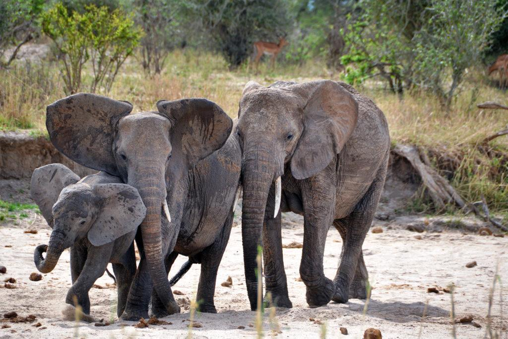 Elephants in the dry river bed of the Tarangire River in Tanzania