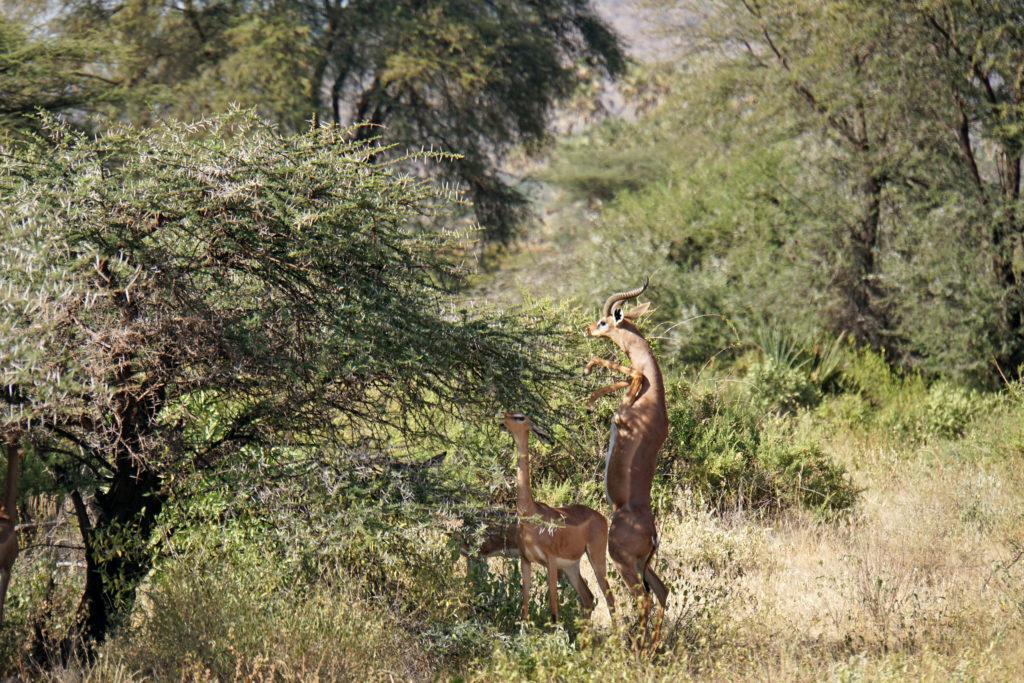 A gerenuk antelope standing on its hind legs, reaching for leaves in Samburu National Reserve, Kenya