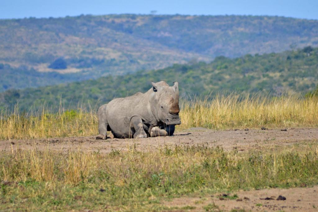 A rhino lying on the ground in the Hluhluwe-iMfolozi Park