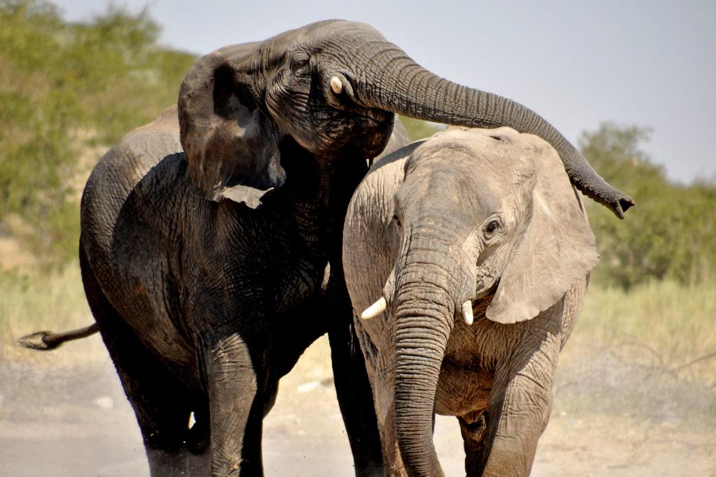 Two elephants standing close to each other in Namibia