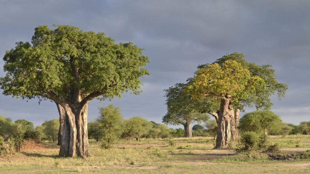 Large green Baobab trees in Tarangire National Park under a dark and cloudy sky