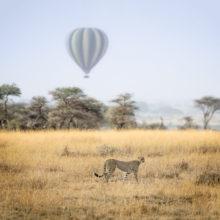 A cheetah walking through grassland, while a striped hot air balloon flies in the distance