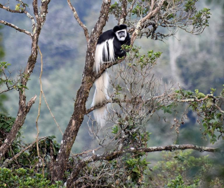 A black-and-white Colobus monkey sitting in a leafy tree in the Aberdares, Kenya