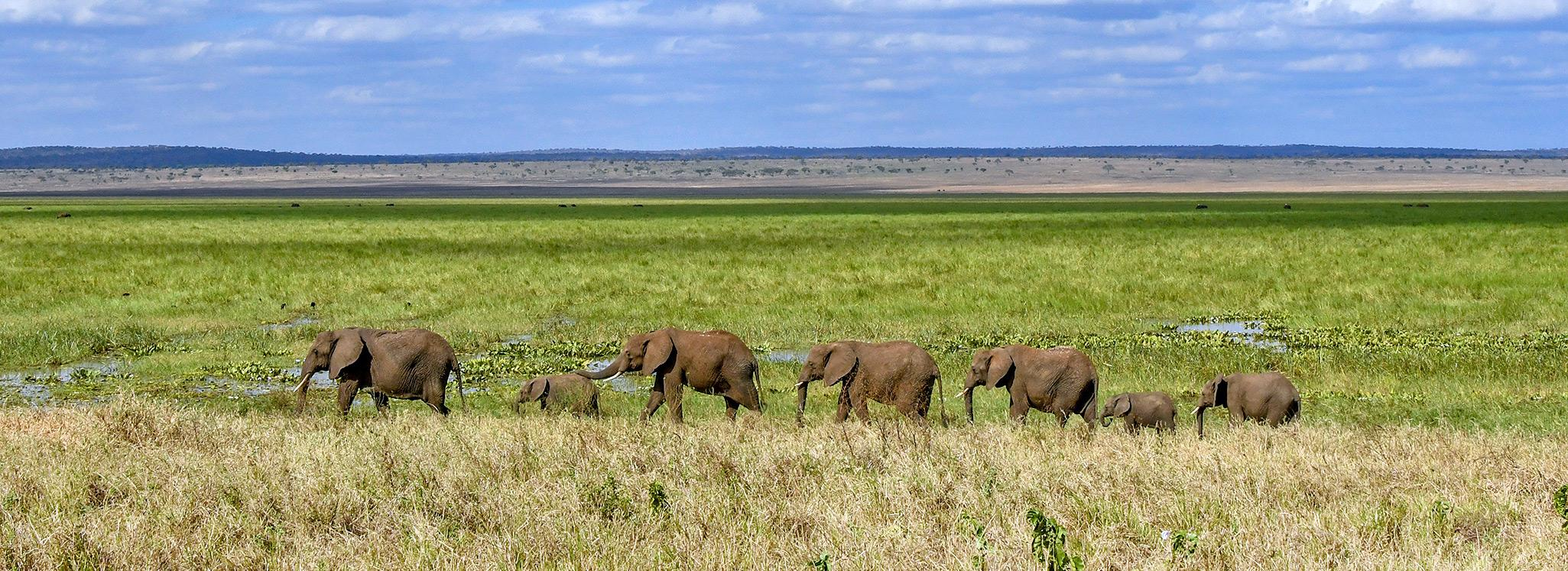 An elephant herd walking from right two left in line in the Silale Swamps, Tanzania