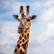 A portrait of a giraffe looking at the camera