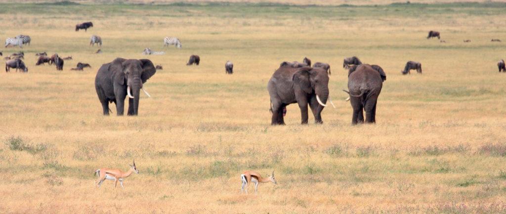Three elephants stand in the savannah amongst wildebeest, zebras, and Thomson's gazelles