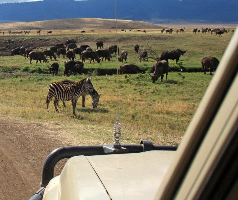 A herd of buffaloes and zebras as seen from the passenger seat of a safari vehicle
