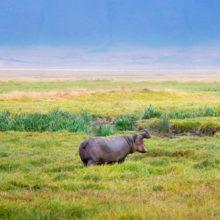 A hippo standing in the grasslands of the Ngorongoro Crater, its mouth wide open