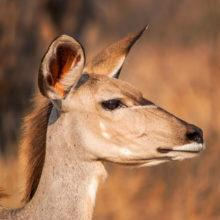 The portrait of a young kudu facing right