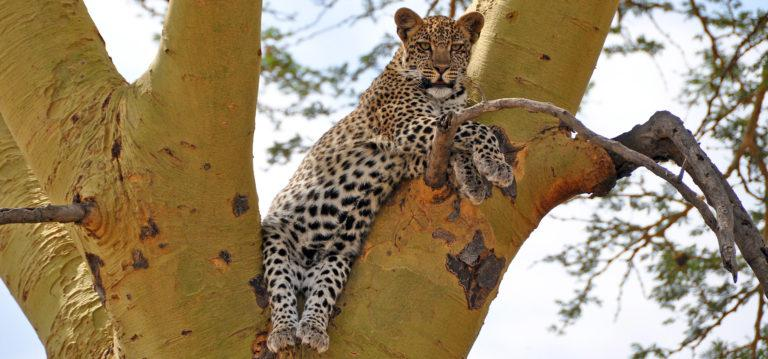A young leopard sitting between two branches in a yellow-fever acacia tree, looking at the camera