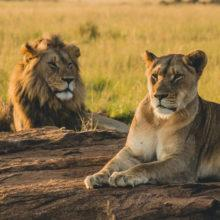 A male lion and a female lion lying on a large rock