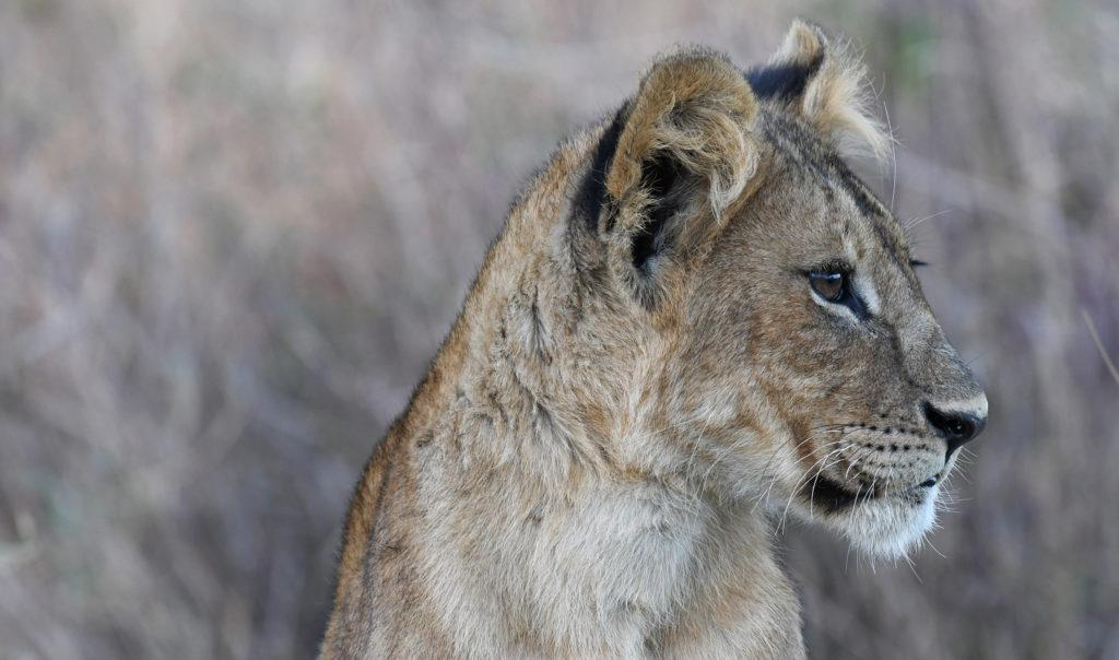 A young lion cub in the Serengeti, Tanzania