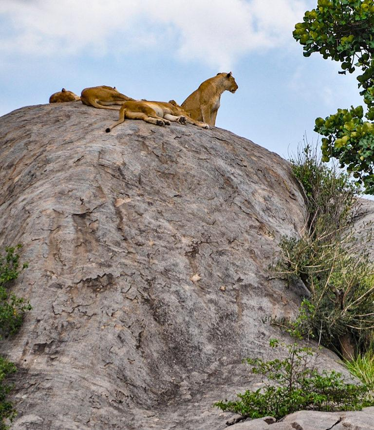 Lions relaxing on a large kopje in the Serengeti