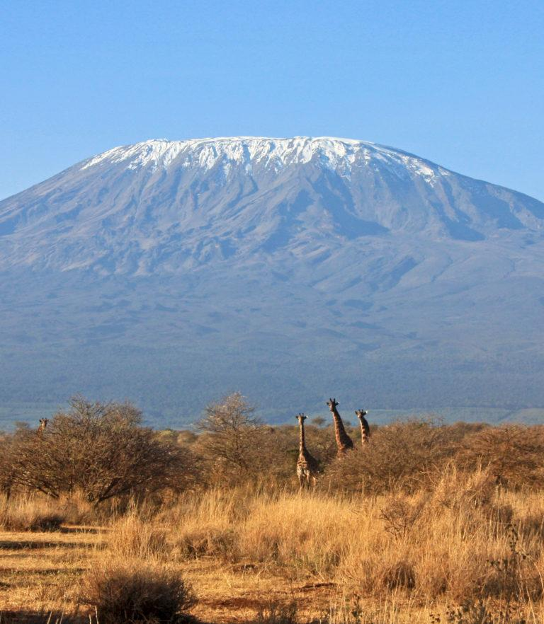 Three giraffes against the backdrop of Mt Kilimanjaro
