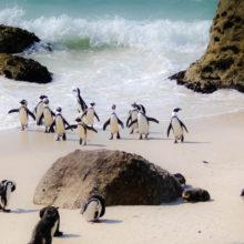 Penguins walking ashore at Boulders Beach in South Africa