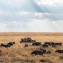 A safari vehicle amongst a herd of buffaloes in the tall golden grass of the savannah