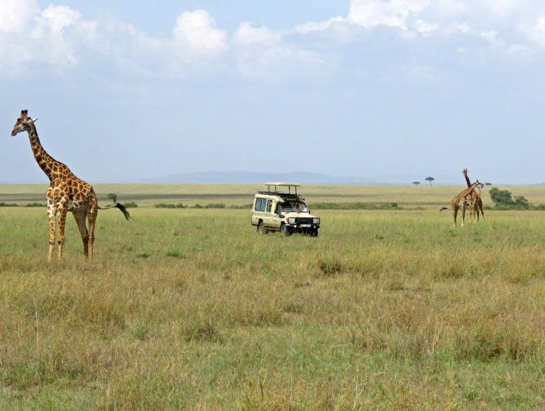 Giraffes standing around a safari vehicle in the savannah of the Masai Mara
