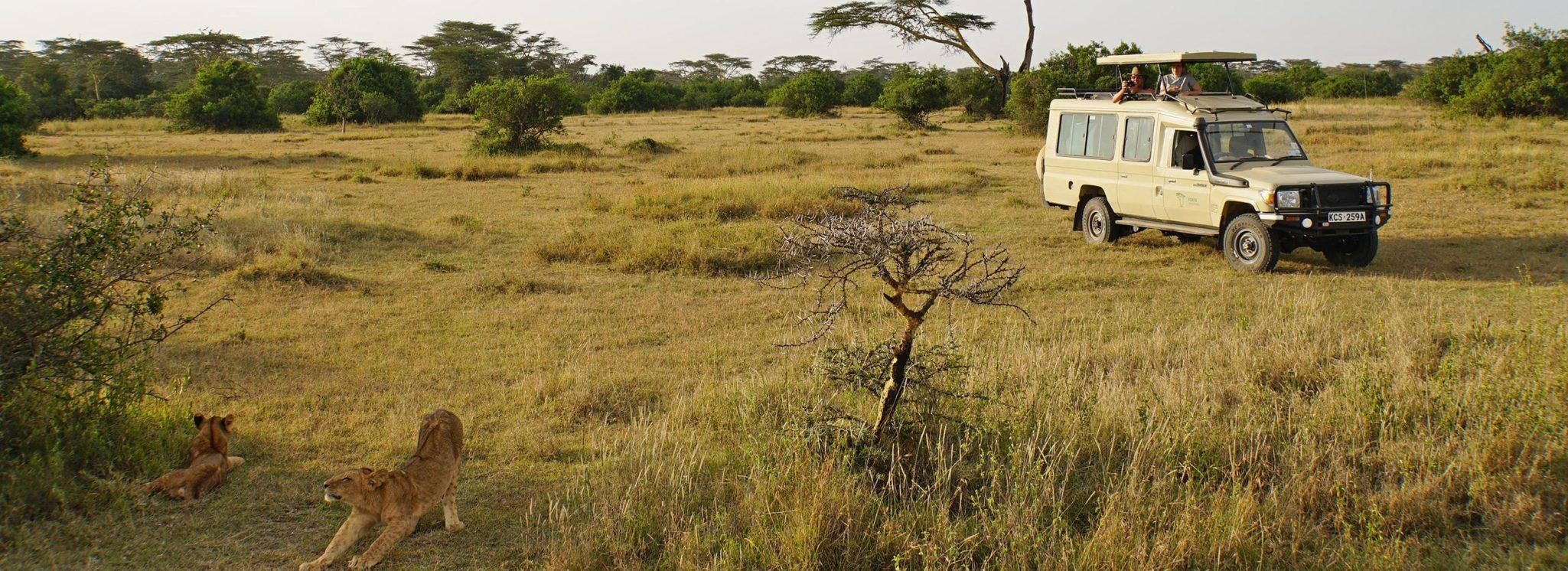 Two travellers in a safari vehicle, looking at two young lions through the roof hatch, in Solio Game Reserve, Kenya