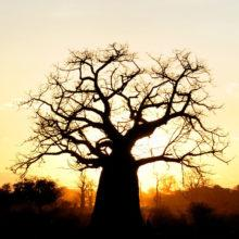 The silhouette of a large baobab tree, while the sun rises behind the tree