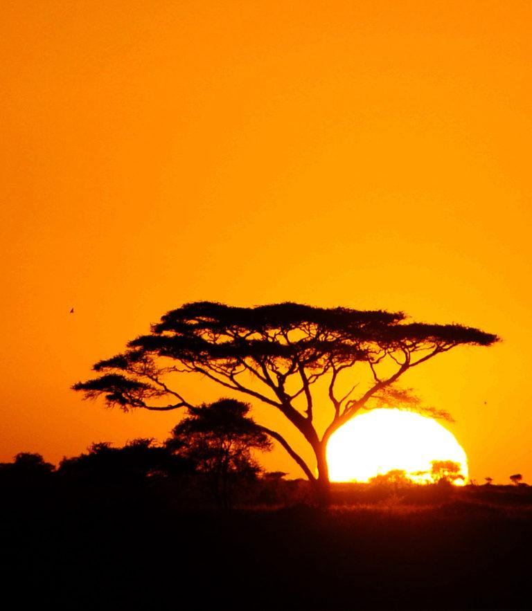The sun sets behind an Acacia tree, colouring the sky bright orange