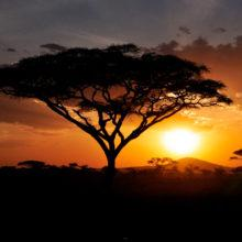 The sun sets in the distance, with an Acacia tree in the foreground