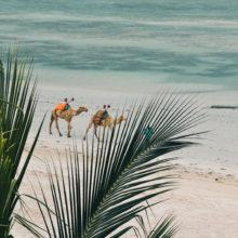 Two camels walking along the beach, hidden by palm leaves