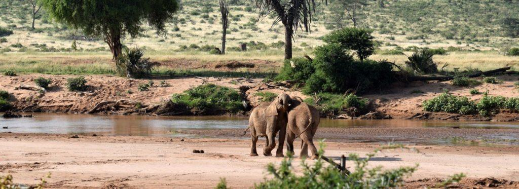 Two elephants close to each other at a river in Samburu National Reserve Kenya