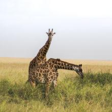 Two giraffes, one standing, one bending over to eat, in the savannah