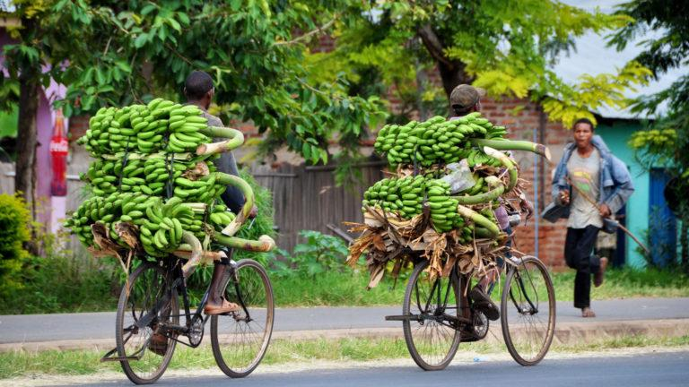 Two men drivng along a road on bycicles loaded with banana plants