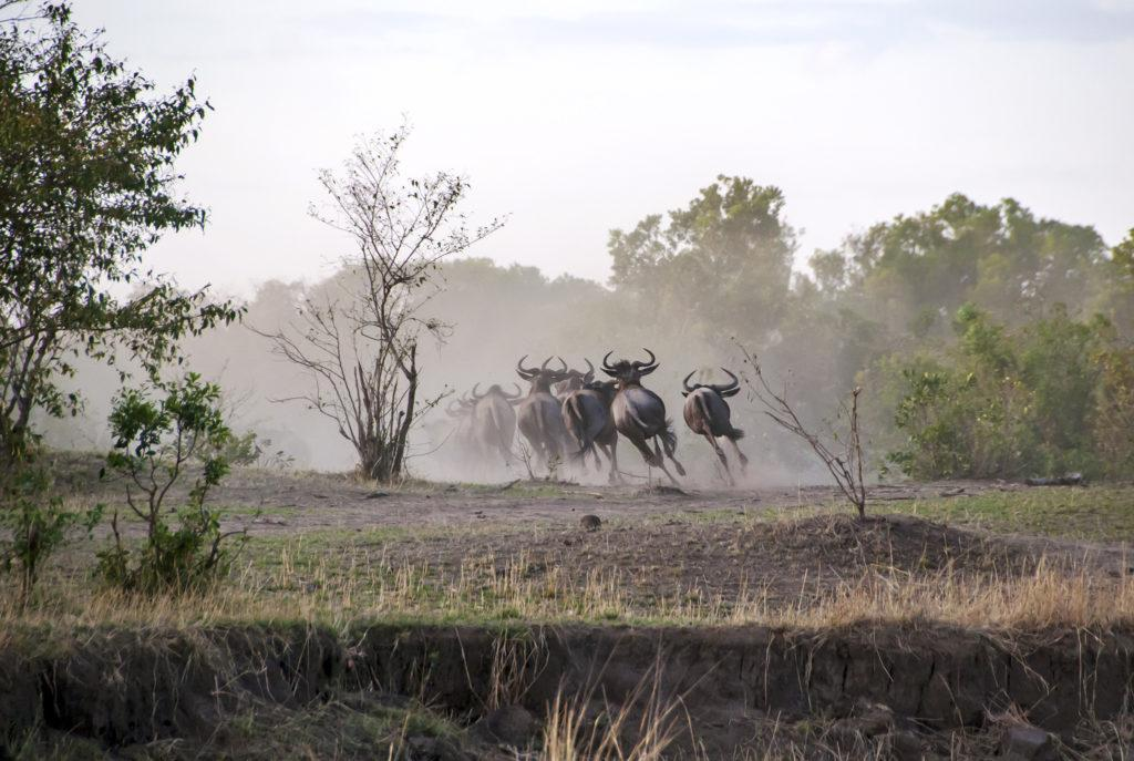 Wildebeest running away towards a forest area