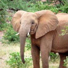 A young African elephant with short tusks
