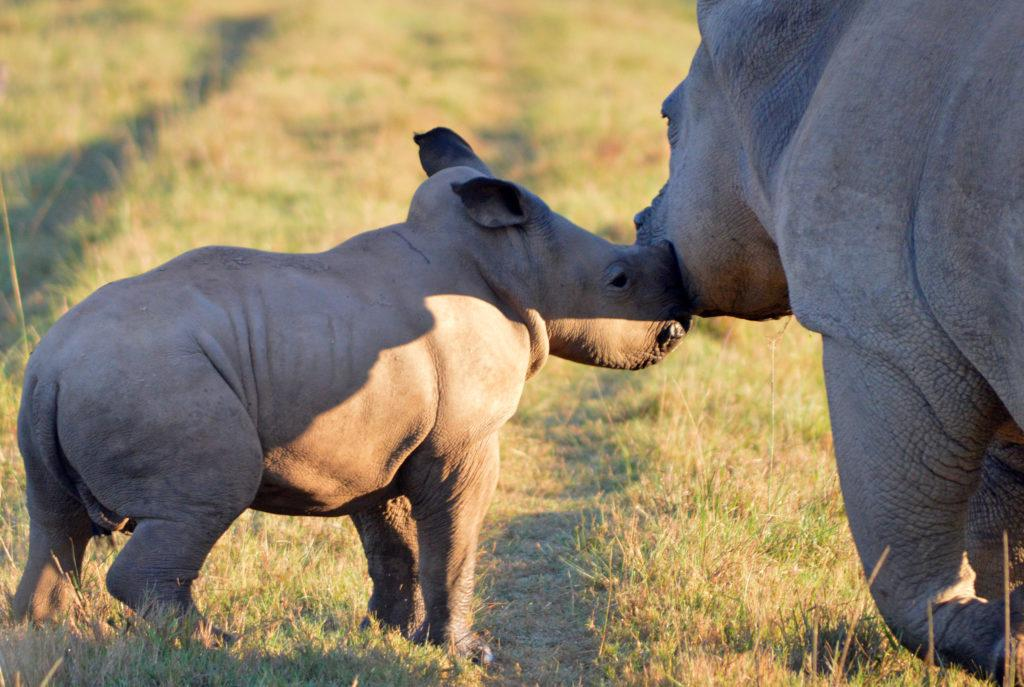 A young rhino with its mother in the morning sun