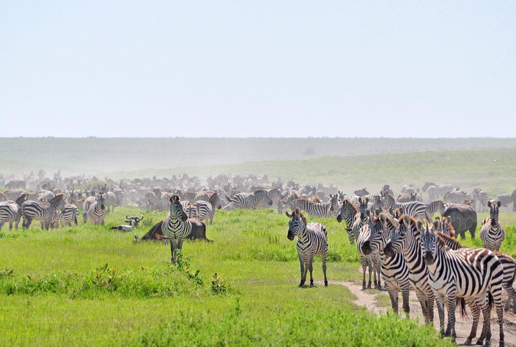 A large herd of zebreas standing on bright green grass