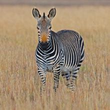 A lone zebra standing in grassland, facing the camera