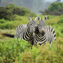 Two zebras standing close to each other in green, lush vegetation, Kenya