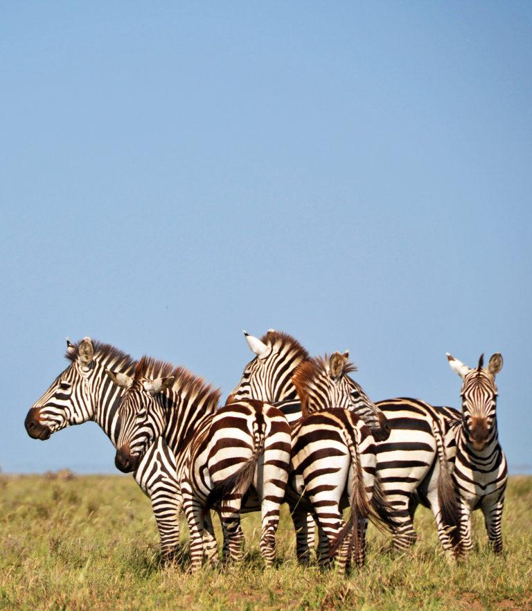 A small herd of zebras under a bright blue sky