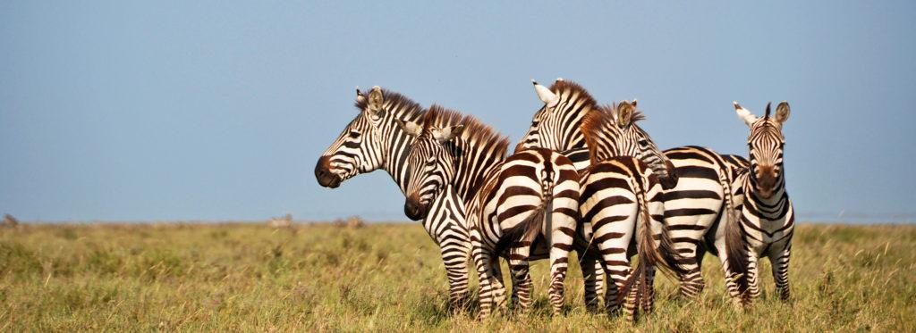 Five zebras standing close to each other in the savannah