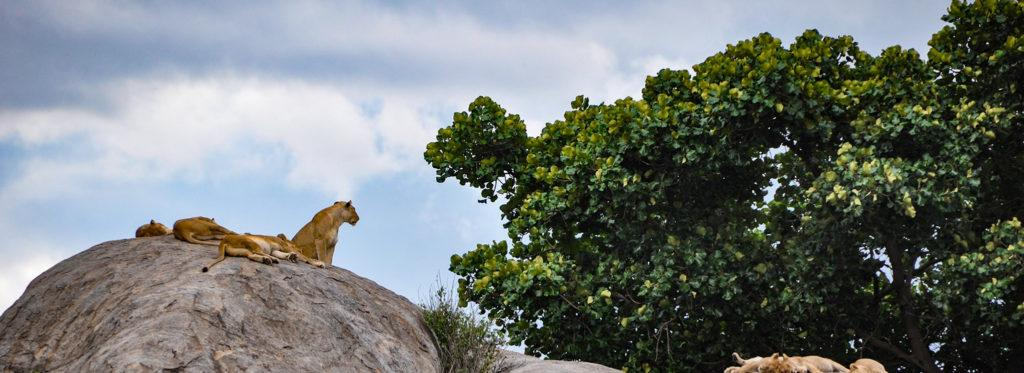 Lions on a rock in Tanzania