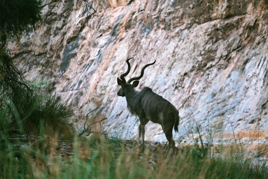 A Kudu antelope in the Naukluft Mountains in Namibia