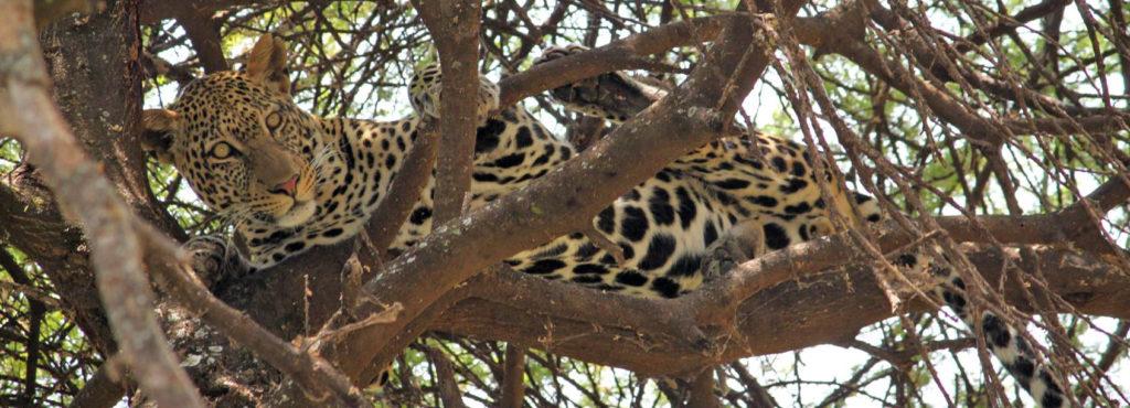 Leopard in a tree Serengeti
